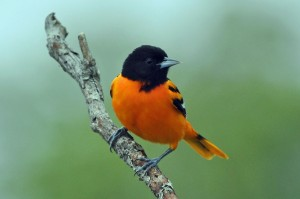 Baltimore Orioles seen at Kanata meters from a toxic City pay-dump & sewage methane facility.